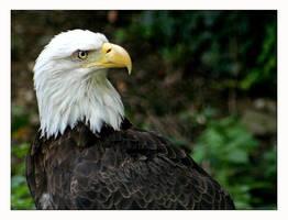 Bald Eagle by Goodbye-kitty975