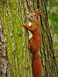 Red Squirrel by beholder0x100