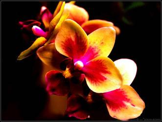 Phalaenopsis by somnambulistic