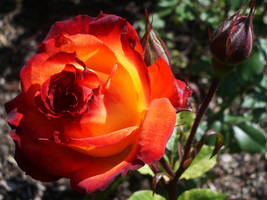 Roses are Red...and Orange by shadowed-light-waves