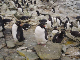 Falklands Rockhopper's by Thornacious