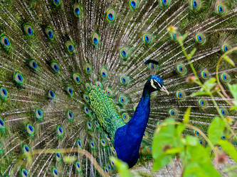 Peacock by Elianneke