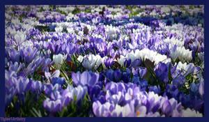 Field Of Beauty... by Tigles1Artistry