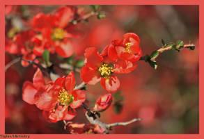 Orange Tree Blossoms... by Tigles1Artistry