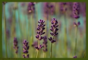 Sweet Lavender ... by Tigles1Artistry