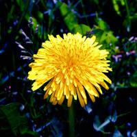My little sunshine... by WhiteBook
