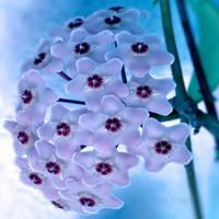 Hoya by WhiteBook