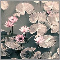Lotuses from another age by Swaroop