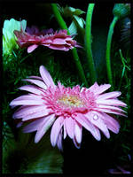 Pretty pink gerbera by Swaroop