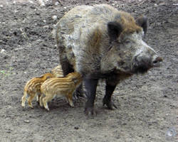 wild Boars by IndianRain