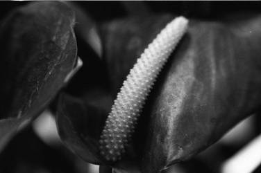 Anthurium in Black and White by CopperMistral