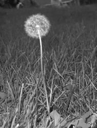 dandelion by sarah-sunshine