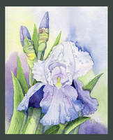 Iris after the Rain by Alina-Kurbiel