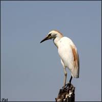 Bubulcus ibis by Patguli