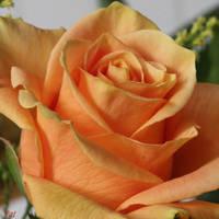 Dolcezza della rosa by Patguli