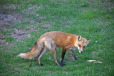 Fox by directql