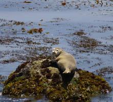 Seal :3 by Dolphishy
