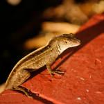 Lizard on Brick by CageyJay