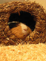 guinea pig soooooo tired by cornum