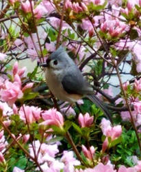 Tufted Titmouse Celebrates Spring by Darkendrama