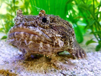 Oyster Toadfish by Darkendrama