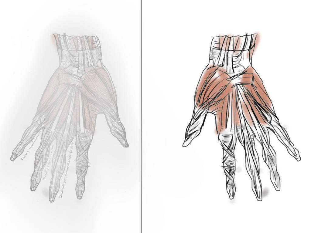 Anatomy The Hand Muscles By Sampadii On Deviantart