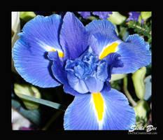 Iris by SheilaDee