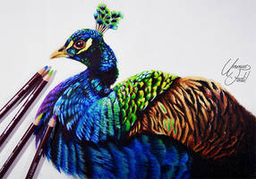 Peacock -- Derwent Coloursoft pencils by f-a-d-i-l