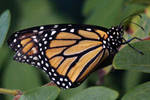 Butterfly 11 by Blue-Sun-Jewelers