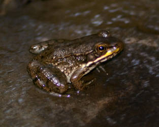 Frog 1 by Blue-Sun-Jewelers