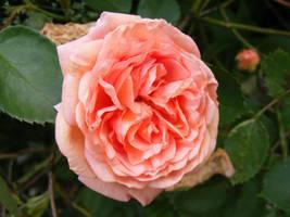 rose2 by violetsusan