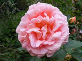 rose3 by violetsusan
