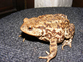 toad sock1 by violetsusan