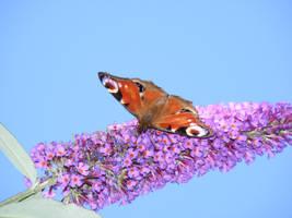 butterfly stock1 by violetsusan