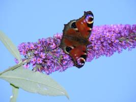 butterfly stock 2 by violetsusan