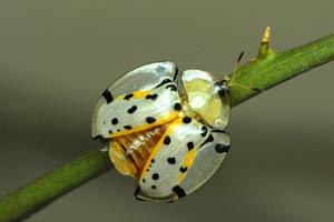 Tortoise beetle by Maluegha-Anita