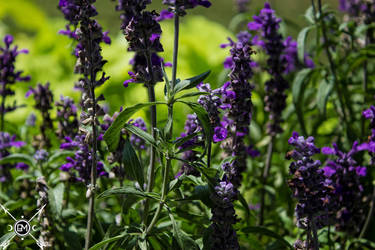 Lavender by Attikus-Star
