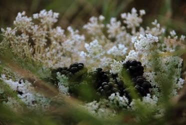 Blackberry by omlette-du-fromage