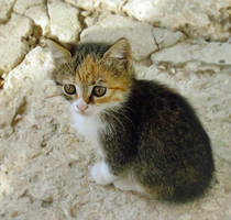 Kitten-8 by Dobina