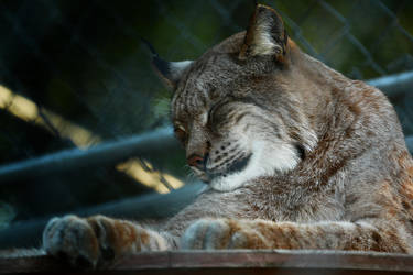 Lynx by Csipesz