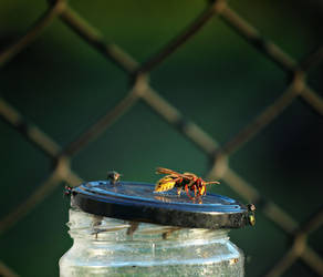 Hornet by Csipesz