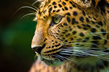 leopard by tobiasth