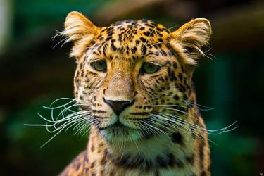 leopard 02 by tobiasth
