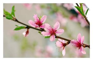 Peach Blossom by hazydream