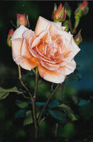 Peach rose and buds by sunnie