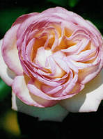A rose close to by sunnie