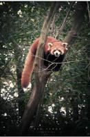 Red Panda by geckokid