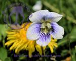 White Violet by artjte