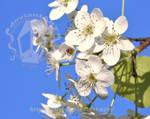 Apple Bloom by artjte