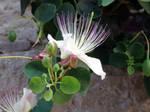 Caper Plant by ordinarygirl1